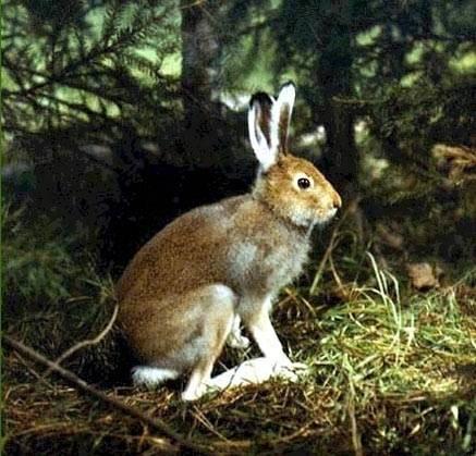 Что едят зайцы в разные времена года - oozoo.ru