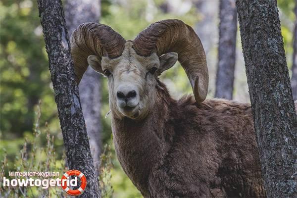 Горный баран архар – алтайский горный баран 2021