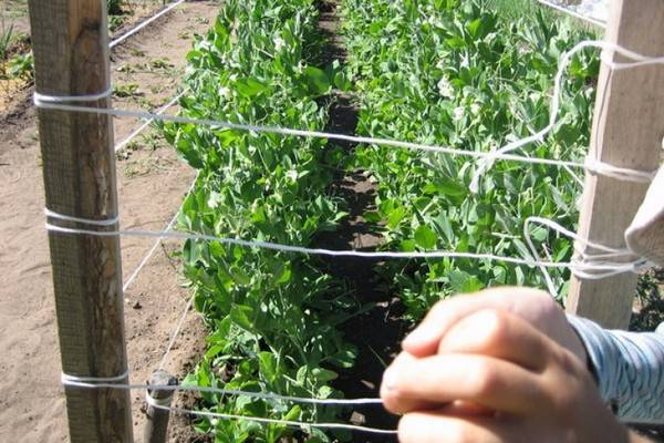 Всё про выращивание гороха: посадка и уход в открытом грунте