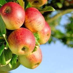 Башкирская красавица — описание сорта яблок и правила агротехники