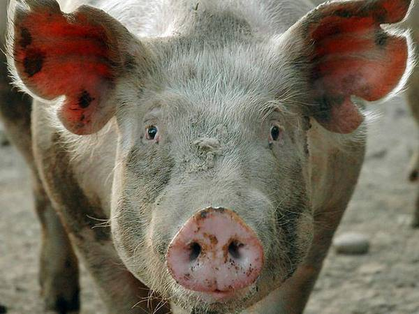 Саркоптоз свиней. дипломная (вкр). сельское хозяйство. 2011-12-03