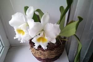 Правильный уход за орхидеей каттлея в домашних условиях