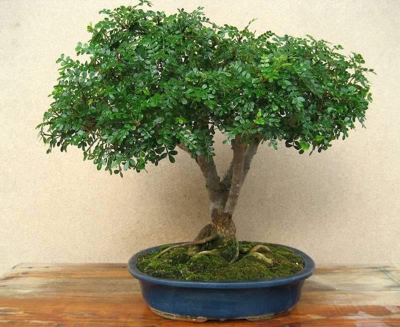Бонсай (72 фото): что это такое? как выращивать дерево своими руками? особенности ухода в домашних условиях