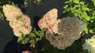 50 фото разных видов и сортов ? цветка гортензия «фрайз мельба», посадка и уход