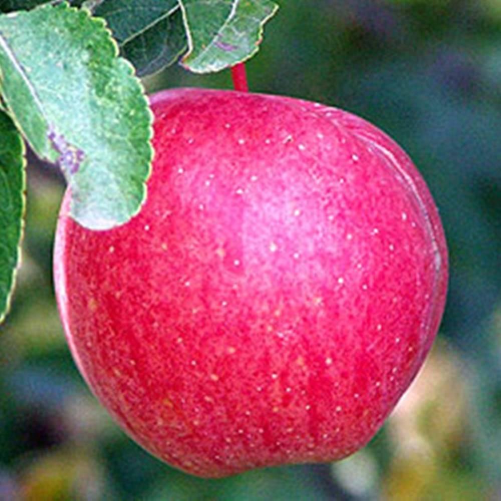 Сорт яблони хоней крисп (хани крисп) – описание, фото