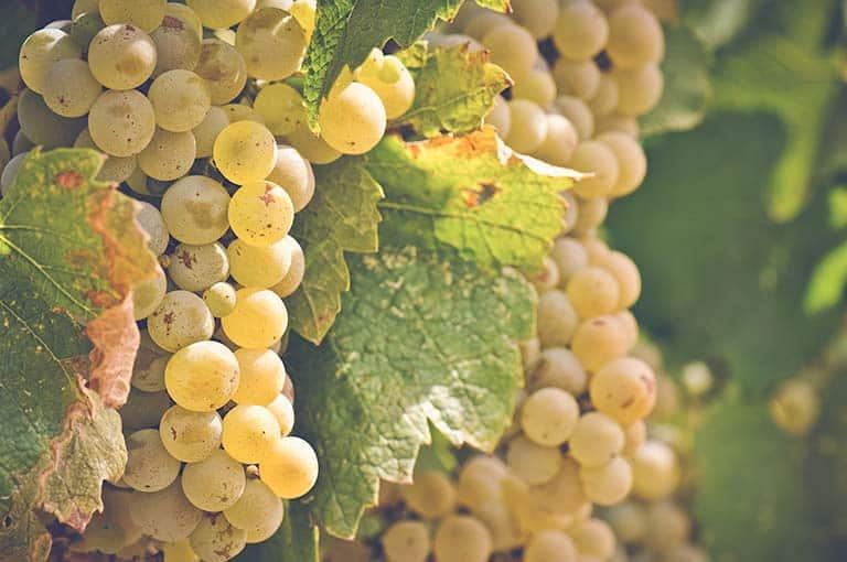 Виноград дружба: описание сорта, фото