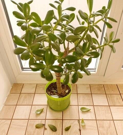 Толстянка (денежное дерево) — болезни и почему осыпаются листья, как спасти и что делать если крассула погибает