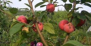 Прививка плодовых деревьев: разновидности и техника выполнения