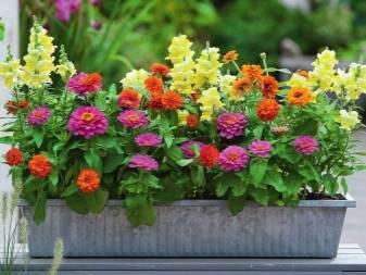 Цветок циния (цинния), выращивание и уход в открытом грунте