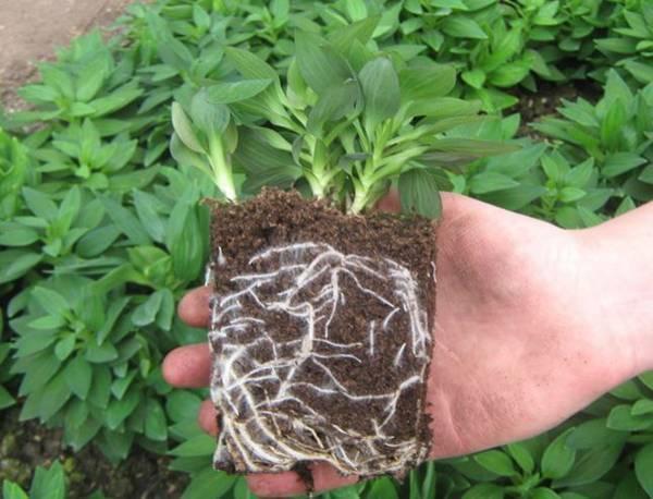 Альстромерия: посадка и уход в открытом грунте, выращивание в саду