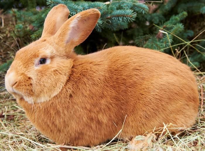 Породы кроликов (57 фото): какие виды разводят в разных областях страны? описание рыжих, лысых, пушистых и других кроликов