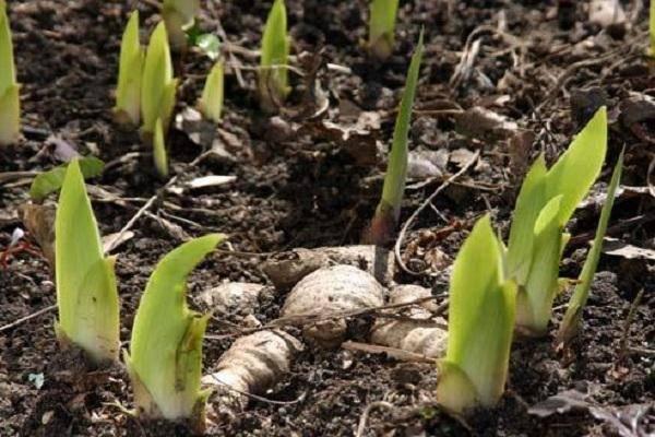 Когда пересаживать ирисы после цветения: советы цветоводам