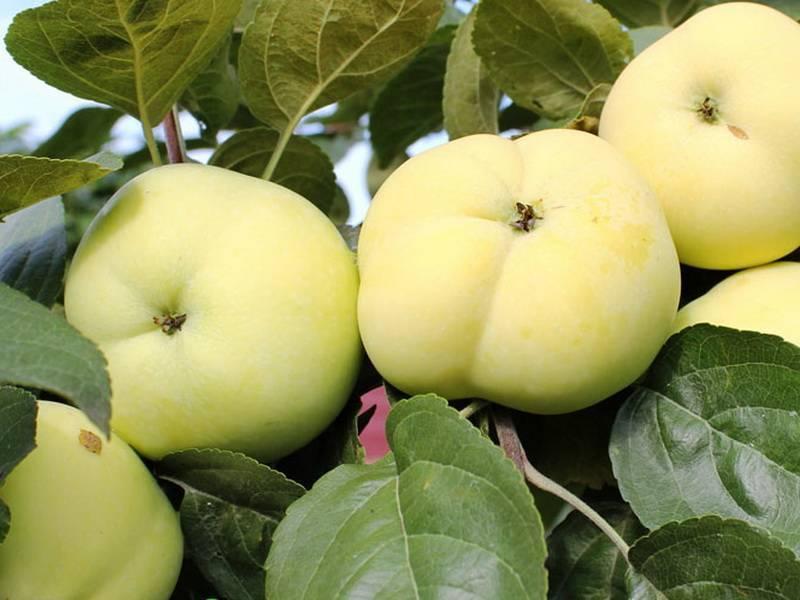 Яблоня папировка: описание сорта, посадка + фото, отзывы