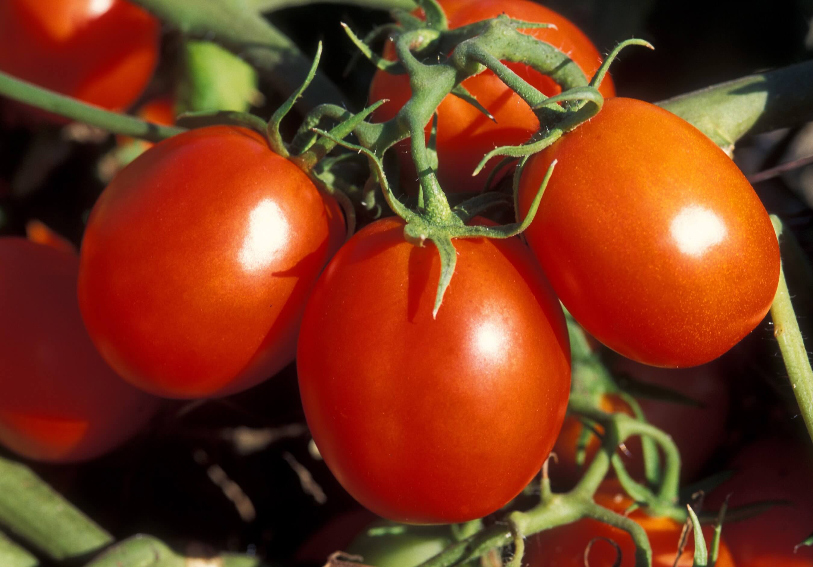 Томат персик: характеристика и описание сорта, урожайность с фото