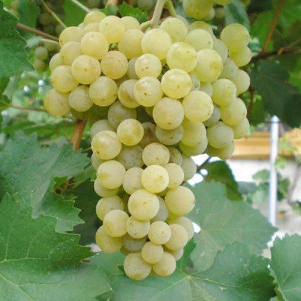 Винные сорта винограда: основные особенности