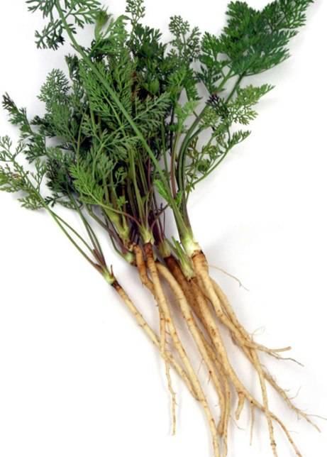 Плод капусты огородной: как называется и выглядит, это кочан или все же нет, к какому он относится типу, как образуется, а также сухим или сочным бывает стручок? русский фермер