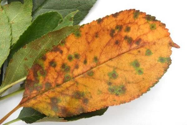 Болезни вишни: описание с фотографиями и способы лечения, вредители