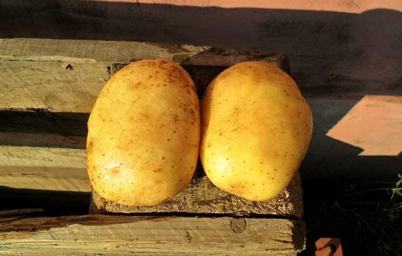 """Картофель уладар - описание сорта, фото, отзывы, посадка и уход - журнал """"совхозик"""""""