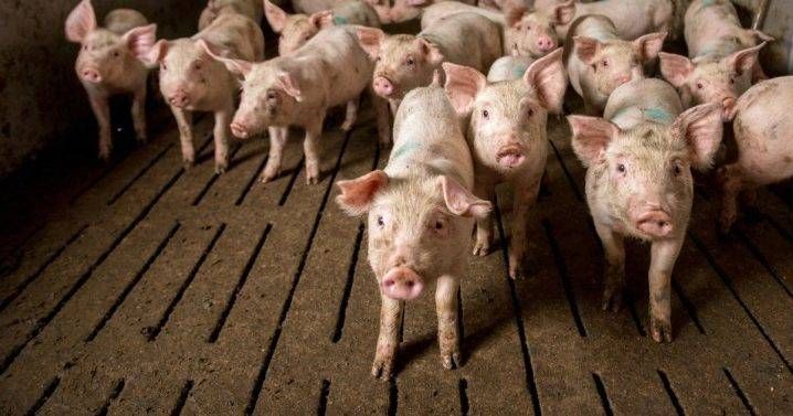 Как построить сарай (загон) для свиней своими руками