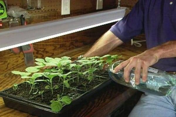 Как спасти вытянувшуюся рассаду огурцов