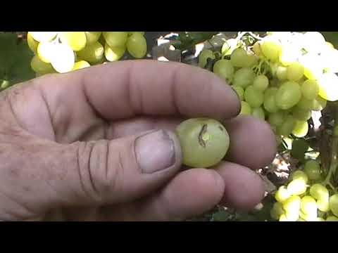Виноград дашуня: описание сорта, фото, отзывы