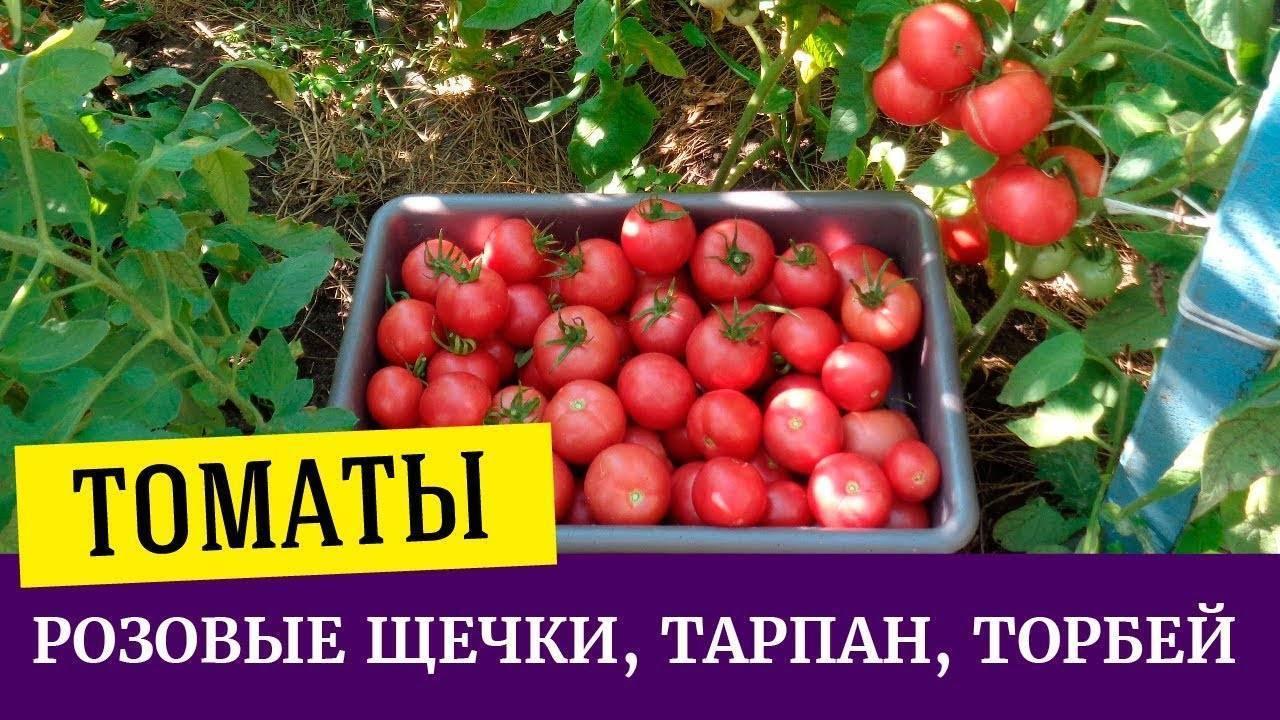 Характеристика томатов сорта тарпан