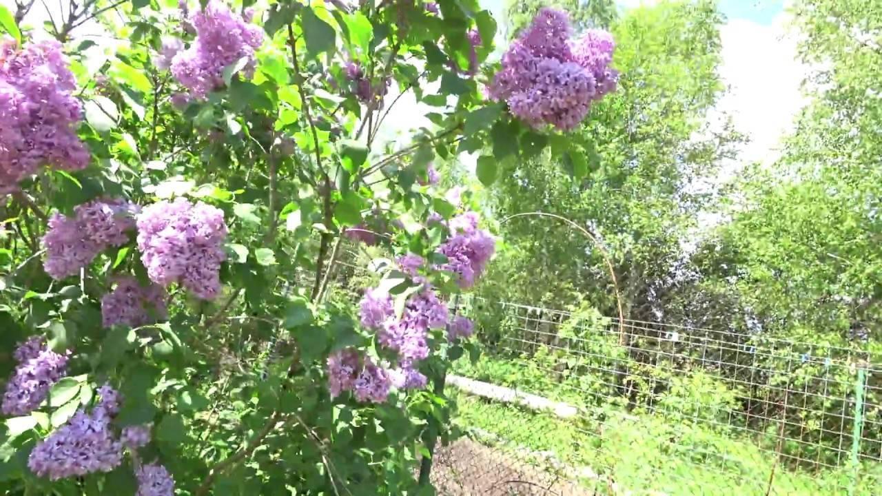 Канадская осенняя сирень или будлея: посадка и уход в открытом грунте, фото ароматного кустарника с медовым запахом