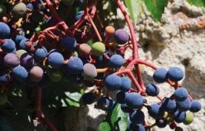 Основные правила обработки винограда осенью от вредителей и болезней.