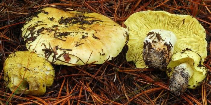 Зеленушка (гриб) — википедия. что такое зеленушка (гриб)