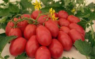 Томатное дерево спрут: секреты выращивания в теплице и в открытом грунте