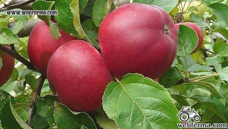 Яблоня рождественское: описание сорта, фото, отзывы, опылители