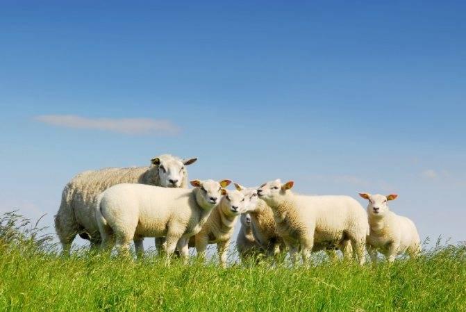 Порода овец тексель: описание и характеристика