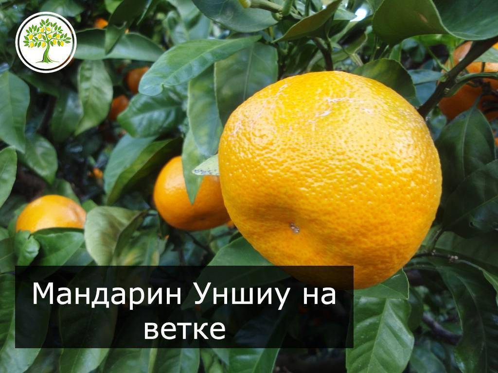 Как вырастить мандарин в домашних условиях