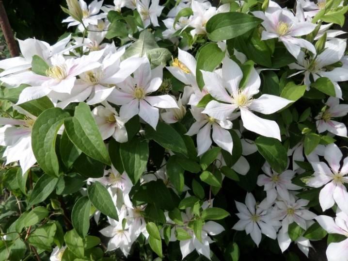 Описание сорта клематиса андромеда — фото саженца и цветов