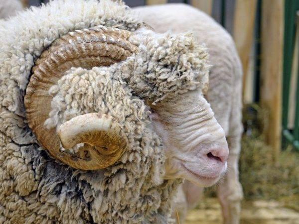 Порода овец меринос - описание, фото и видео   россельхоз.рф