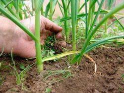 Чем подкормить чеснок ранней весной и чем обработать