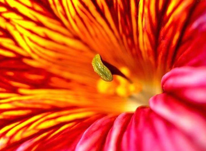 Сальпиглоссис — выращивание супербиссима и выемчатого видов
