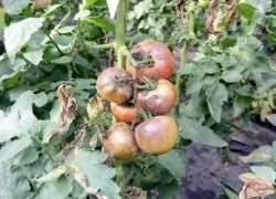 Применение эпина для рассады помидор | огородовед