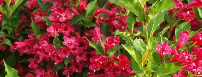 Кустарник сирень: описание растения, когда и как правильно посадить весной и осенью, уход и размножение