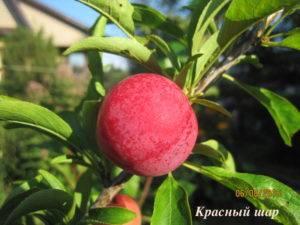 Слива красный шар: описание сорта, фото, отзывы, опылители