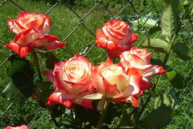 Роза императрица фарах: фото и описание сорта, отзывы