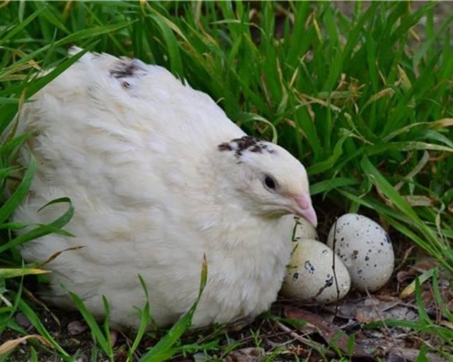 Когда начинают нестись перепела в домашних условиях: физиологические особенности птицы