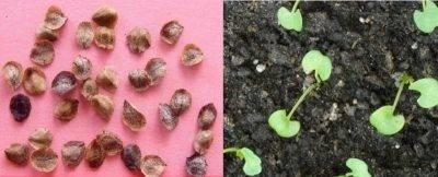 Свекла – как правильно и когда сажать в 2021 году? секреты выращивания!