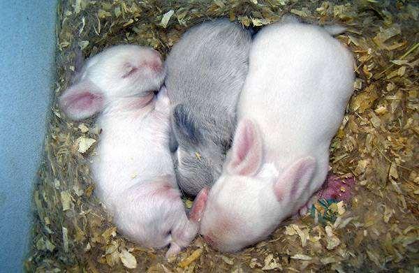 Новорожденные кролики: как выглядят и развитие по дням, правила ухода