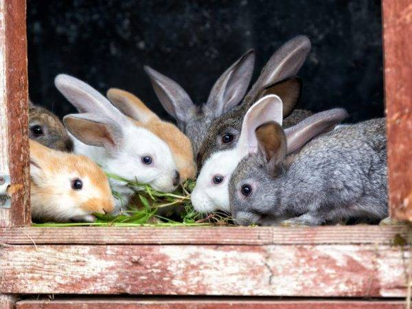 Значение веток в рационе кроликов