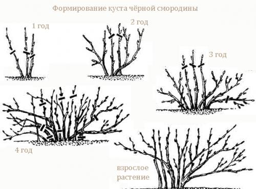 Уход за смородиной осенью, подготовка к зиме в подмосковье, средней полосе и сибири. обрезка (видео), подкормка