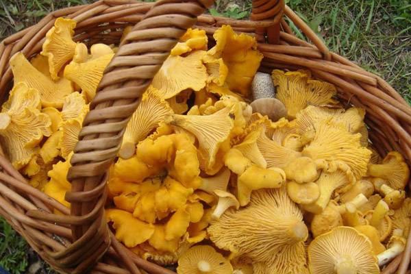 Виды и названия грибов с картинками: съедобные и несъедобные