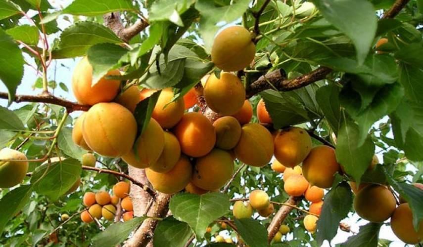 Сорт абрикоса триумф северный: описание, фото