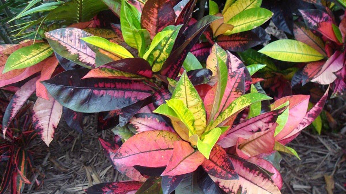 Яркий кодиеум (кротон) петра: описание цветка с фото, рекомендации по уходу