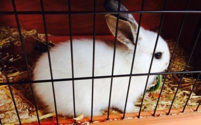 Роды крольчихи: подготовка, кормление после окрола, уход за крольчатами